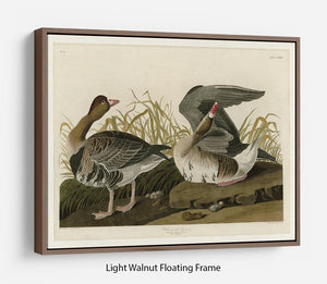 White fronted Goose by Audubon Floating Frame Canvas - Canvas Art Rocks 7