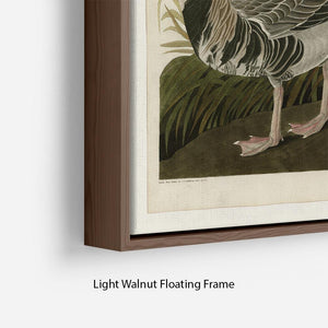 White fronted Goose by Audubon Floating Frame Canvas - Canvas Art Rocks - 8