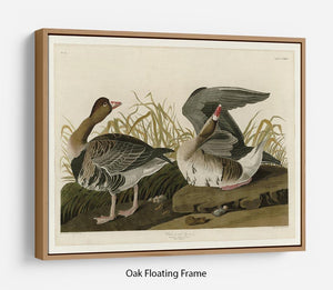 White fronted Goose by Audubon Floating Frame Canvas - Canvas Art Rocks - 9