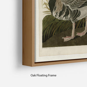 White fronted Goose by Audubon Floating Frame Canvas - Canvas Art Rocks - 10