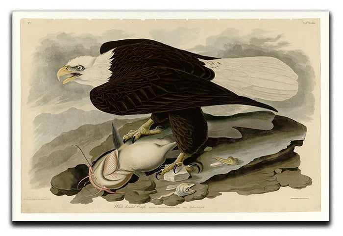 White headed Eagle by Audubon Canvas Print or Poster
