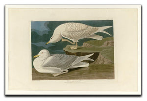 White winged silvery Gull by Audubon Canvas Print or Poster - Canvas Art Rocks - 1
