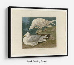White winged silvery Gull by Audubon Floating Frame Canvas - Canvas Art Rocks - 1