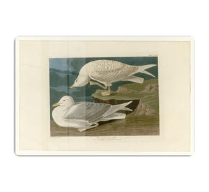 White winged silvery Gull by Audubon HD Metal Print - Canvas Art Rocks - 1