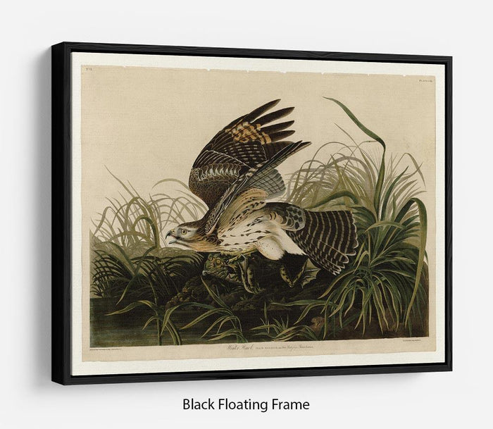 Winter Hawk by Audubon Floating Frame Canvas