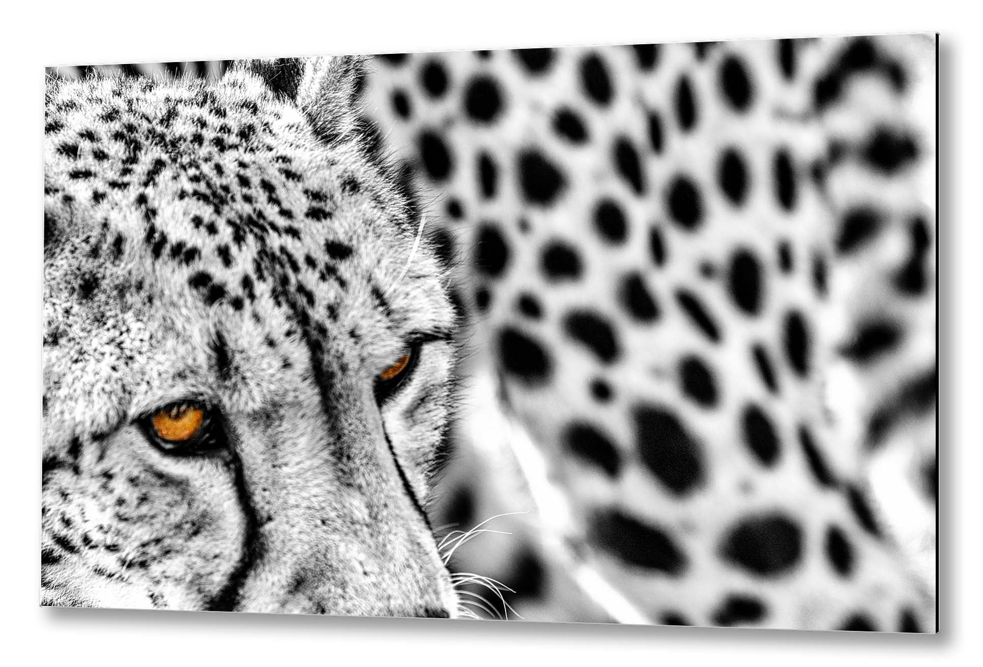 Cheetah | Special edition Print on Aluminium
