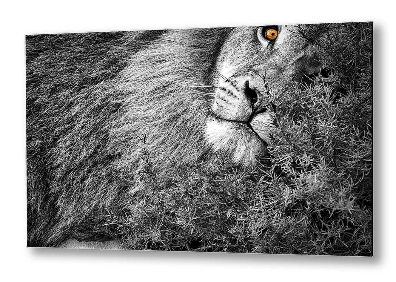 The Kings Nap | Photo Art | Black & White | Lion | Print on Aluminium Dibond | Special Edition Art Print | Wall Art