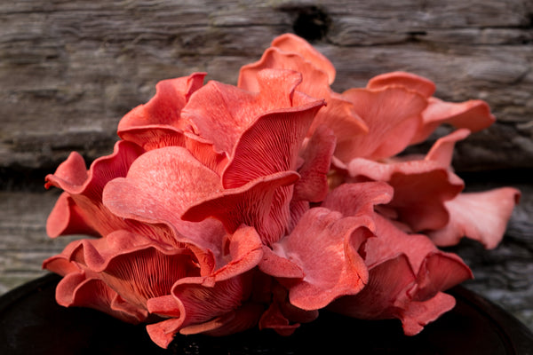 Pink oyster mushroom fresh or dried