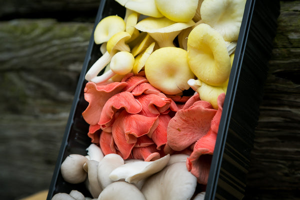 mixed oyster mushrooms (yellow, grey, pink) fresh