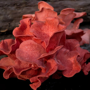 Pink Oyster Mushrooms - Cluster or Trimmed