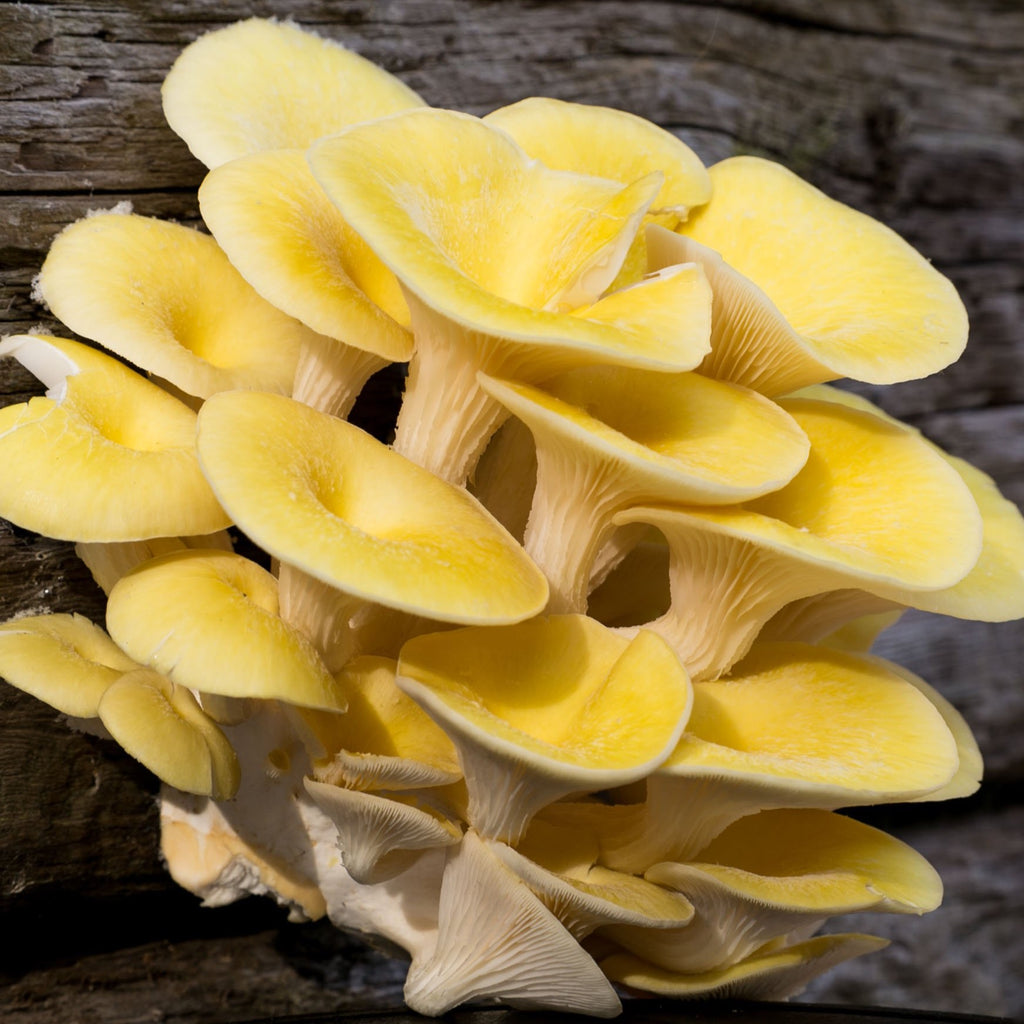 yellow exotic Chinese asian oyster mushroom smithy mushrooms with next day delivery in the UK