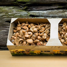 mousseron mushroom, Scotch bonnet mushroom / Fairy ring mushroom / Fairy ring champignon, fresh, wild, exotic, uk