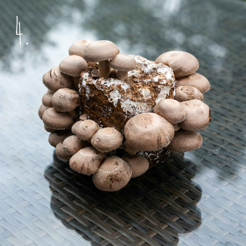 Grow Your Own Shiitake Mushrooms - Exotic Grow Kit