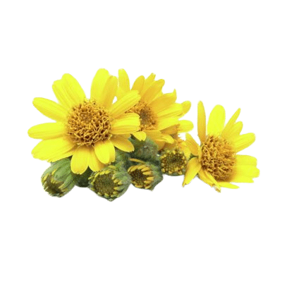 Bright Yellow Arnica Flowers & Green Stems On White Background