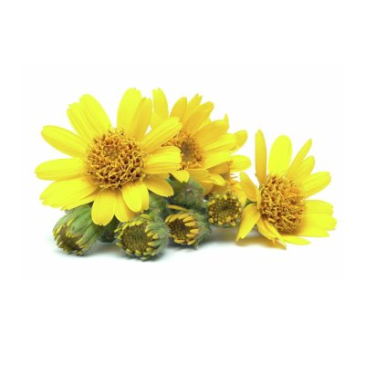 Bright Yellow Open Arnica Flowers Amongst Closed Green Arnica Flowers