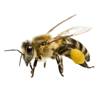Fluffy Cute Honey Bee On White Background