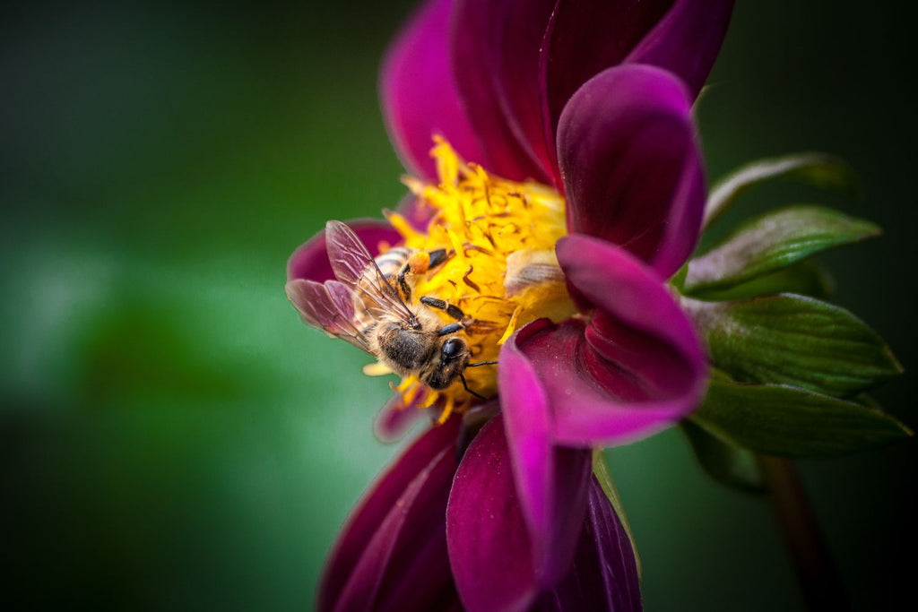 Beautiful Yellow & Black Bee Inside Purple & Yellow Flower With Green Background