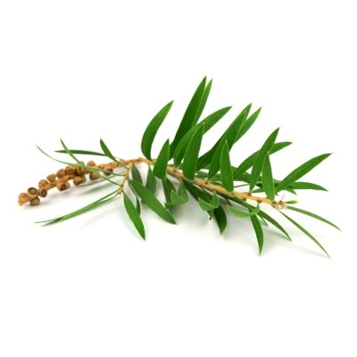 Straw Coloured Branch With Seeds & Bright Green Cajeput Leaves