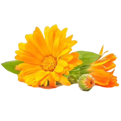 Pretty Yellow Calendula Herb Flowers With Green Stems & Leaves On White Background