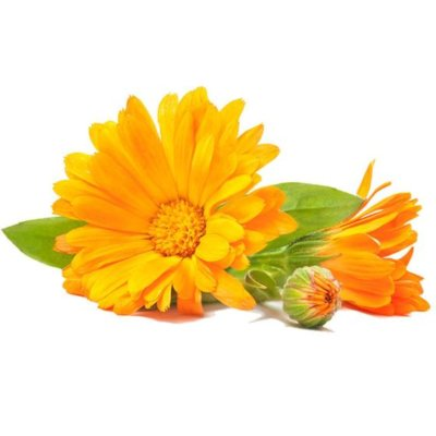 Bright Yellow Calendula Flower With Green Leaves On White Background