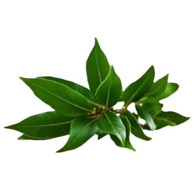 Deep Green Camphor Leaves On White Background