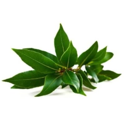 Branch With Multiple Dark Green Camphor Leaves