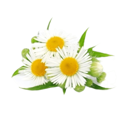 Chamomile Flowers With Yellow Center & White Petals Alongside Green Chamomile Leaves