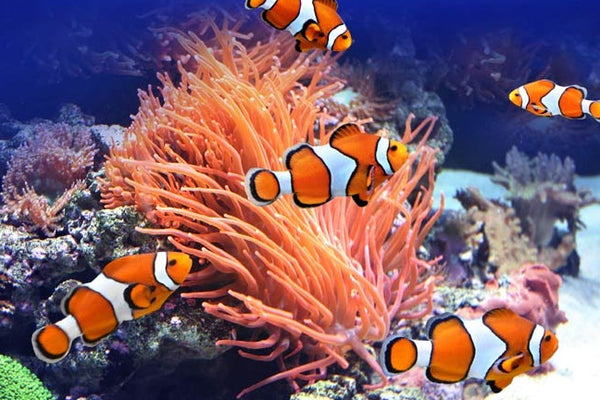 Clown Fish Swimming Under The Sea