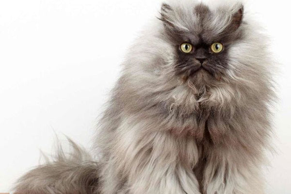 Colonel Meow With Grumpy Face