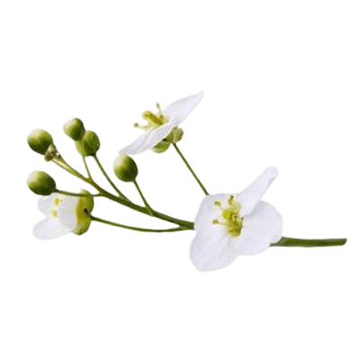 White Crambe Flowers & Green Seeds On Green Stalk