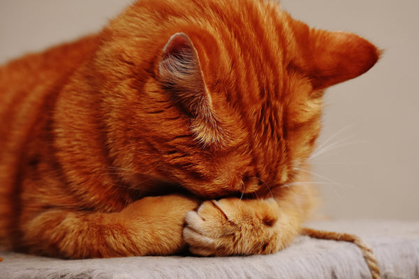 Embarrassed Ginger Cat