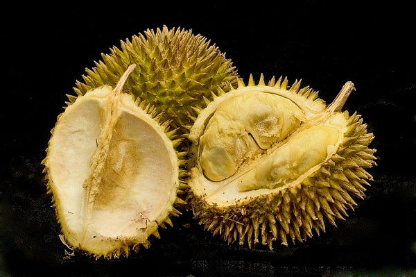 Durian Fruit on black background