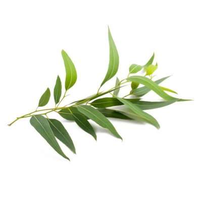 Green Eucalyptus Leaves On Branch On White Background