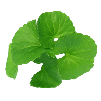 Green Gotu Kola Herbs On White Background
