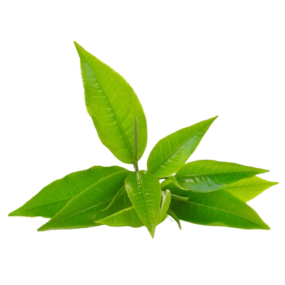 Vibrant Green Tea Leaves On White Background