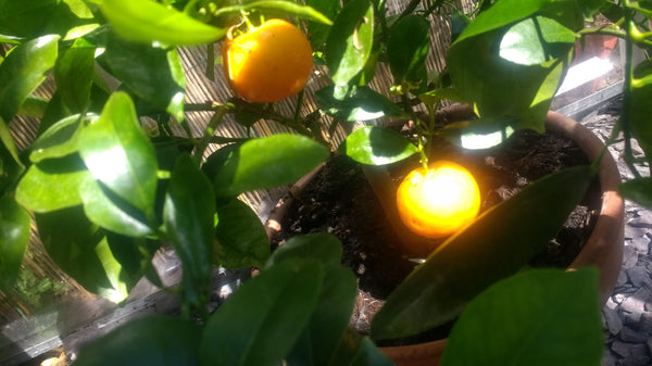 Naturally Wicked Calamondin Orange in Terracotta Pot - Natural Citrus
