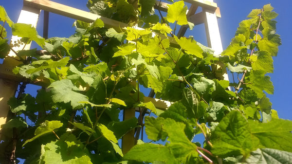 Naturally Wicked Natural Cosmetic Gifts - Grape Vine climbing trellis