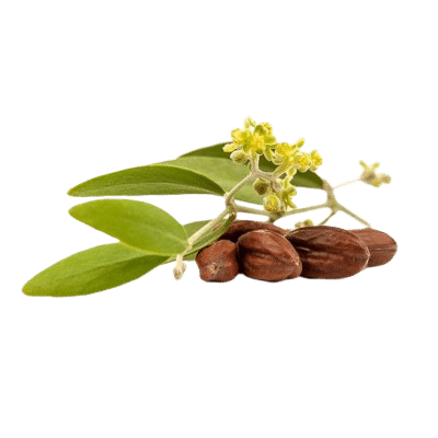 A Bunch Of Jojoba Nuts With Green Leaves Attached