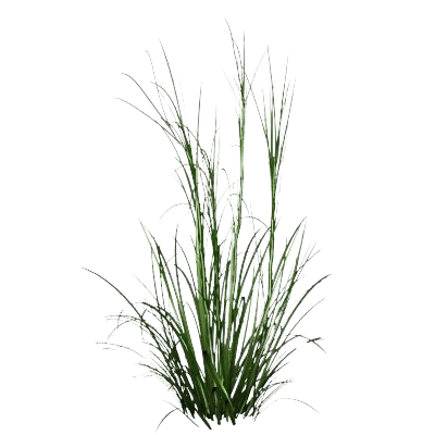 A Patch Of Green Spikey Palmarosa Grass On White Background