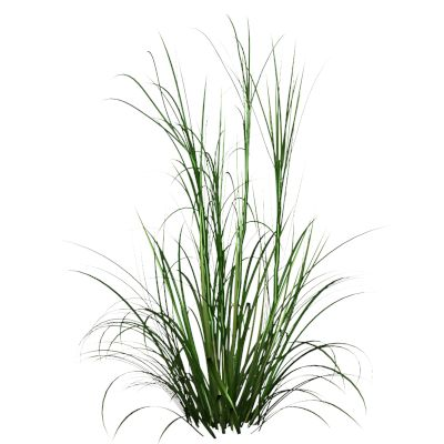 Palmarosa Grass On A White Background