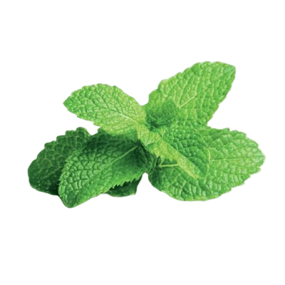 Green Peppermint Leaves on White Background