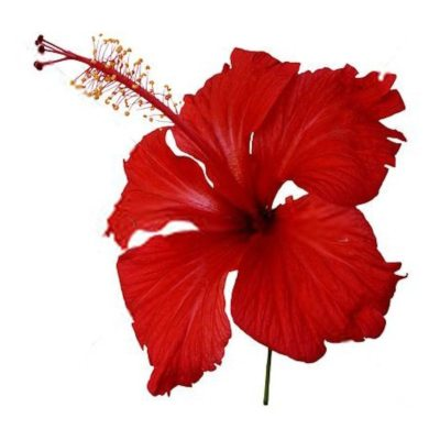 Bright Red Hibiscus Flower on White Background