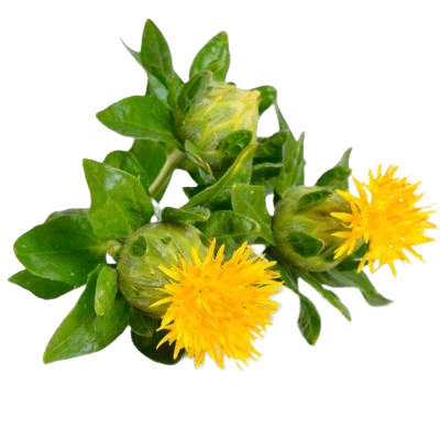Two Bright Yellow Safflowers Alongside Green Stalks, Leaves & Unopened Safflower Head