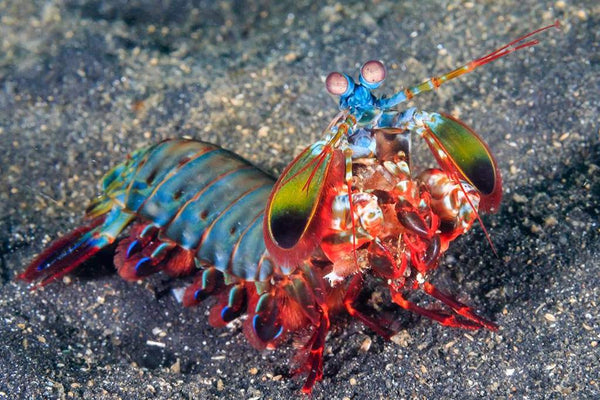 Peacock Mantis Shrimp Under Water