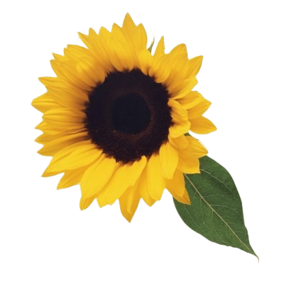 Bright Yellow Sunflower With Dark Brown Seeded Inner & Green Leaves