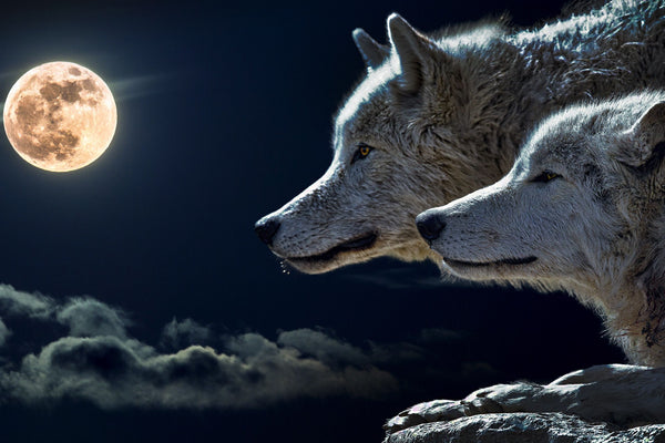 Beautiful Wolves With Glowing Moon