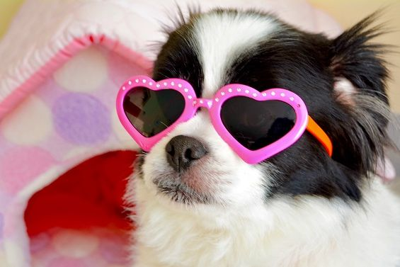 Black & White Dog With Pink Glasses