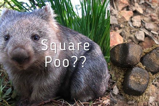 Wombat With Cubed Poo