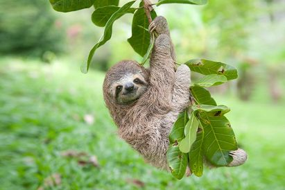 Sloth hanging on a tree