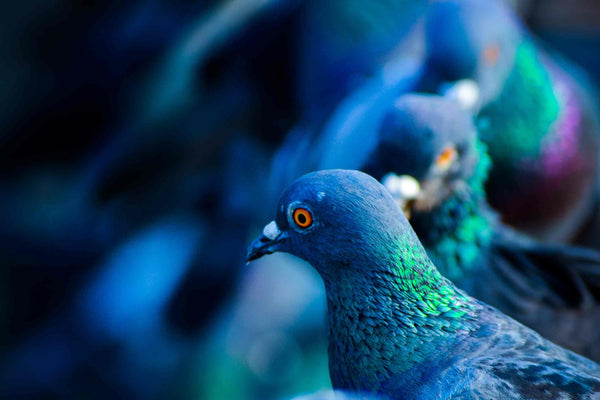 Colourful pigeons